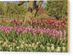 tulip bed wood print featuring the photograph tulip bed at longwood gardens in pa by geraldine
