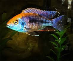 Easily The Most Stunning Cichlids Peacock Cichlids Care Guide
