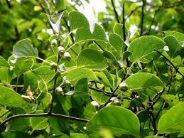Hardy kiwifruit (Invasive Plant found in MA) · iNaturalist