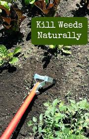 how to get rid of weeds in garden. How To Weed A Garden Best Ideas About Killing Weeds On Online . Get Rid Of In Y