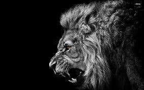 lion roaring black and white.  Roaring Lion Roar Black And White Wallpaper Inside Roaring And C