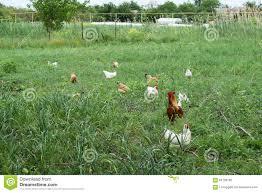 Kitchen Garden Hens The Chickens Walking In A Kitchen Garden Stock Photo Image