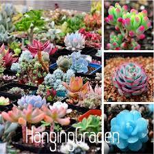 100 rare mix lithops bonsai living stones succulent cactus organic garden bulk plant 56mdpy
