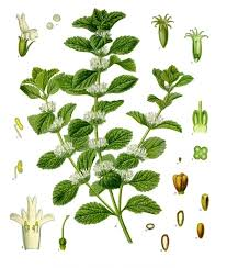 Marrubium vulgare - Wikipedia
