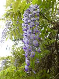 Guide To Climbing Clematis Plants  Gardens Sun And ArchesClimbing Plant For Shade