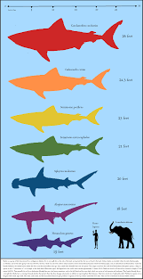 Shark Size Comparison Chart Whale Shark Blue Whale Size Comparison 50272 Newsmov