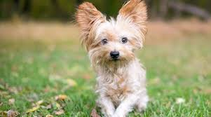 Because their hair can grow long and is highlighted in dog shows most people think of the ridiculously long hair yorkies they see on tv when they think of the yorkshire terrier. Yorkie Mixes 20 Different Yorkshire Terrier Crossbreeds With Pictures