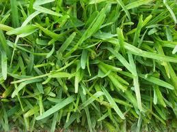 Grass Couch Couch Grass Vs Kikuyu Image Gallery Hcpr