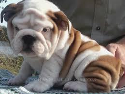 chbulldogs english bulldog puppies for in az