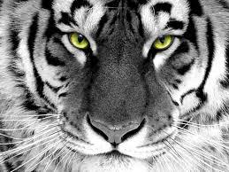 tiger wallpaper high resolution. Wonderful Resolution White Tiger High Resolution Wallpaper Desktop With U