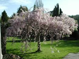 Our Semi Dwarf Bing Cherry Trees Have Fruit That Is Firm