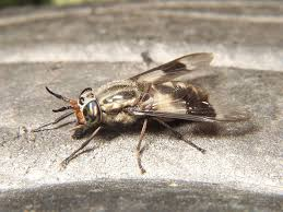 Small Black Flying Bugs In Bedroom Identify Your Fly Whats The Buzz