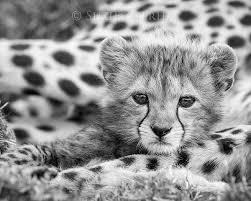 baby white cheetah. Wonderful Baby On Baby White Cheetah Animal Prints By Suzi