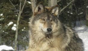 Wolf Vs Dog Size Chart Grey Wolf Facts Size Diet Habitat Information