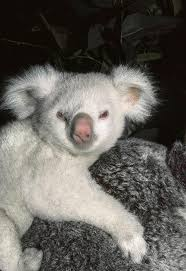 best ideas about significado do nome diego beb ecirc  in 1985 the zoo s first albino koala was born he was d goolara meaning moonlight in an n aboriginal language and as you can see