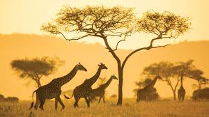 """Képtalálat a következőre: """"serengeti"""""""