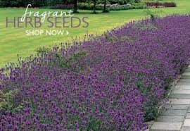 fragrant herb seeds now