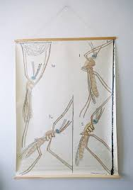 Mosquito Chart Original Zoological Vintage French School Chalk Wall Chart Mosquito Insect Zoology Beautiful Rare Dr Auzoux Sougy