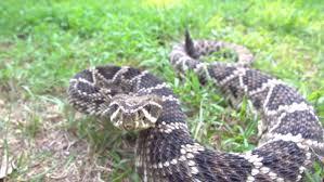 rattlesnake striking at camera. Simple Rattlesnake Inside Rattlesnake Striking At Camera O