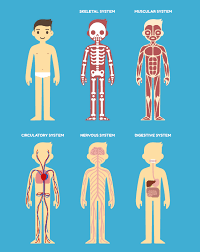 Body Systems Chart How Your Body Systems Are Connected Revere Health Live
