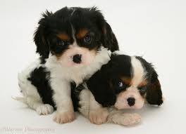tricolor cavalier king charles spaniel puppies. Tricolour Cavalier King Charles Spaniel Pups White Background In Tricolor Puppies