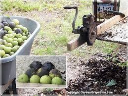 harvesting black walnuts.  Harvesting Harvesting Black Walnuts In