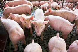 Guía Para El Diseño Y Construcción De Granjas Porcinas   Razas Precio Granja De Cerdos Engorde