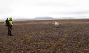 Svalbard Reindeer Populations Rebounding From Centuries Of