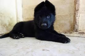 black german shepherd puppies for sale. Brilliant Shepherd German Shepherd Puppies For Sale  Dogs U0026 Gumtree Australia  Ipswich City  1193396791 Throughout Black For Sale