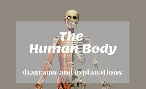 The following tables list some specific muscles in the human body by region of the body with links to pages about the specific muscles and/or pages that. List Of Human Body Parts Names Science Trends