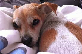 Canine Lymphoma Symptoms Our Dog Has Cancer And Were Not Treating It Time