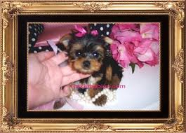 teacup yorkies for teacup yorkie teacup yorkies for