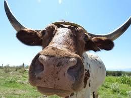 Risultati immagini per bove