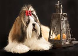 Imperial Tea Cup Shih Tzu Weight Size Breed Standards