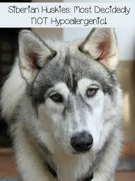siberian huskies fur factories far from hypoallergenic