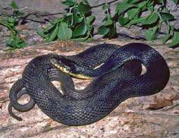 Snakes black with yelllow bottom