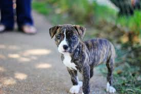 cute pitbull dog puppy wide hd wallpapers free puppy pictures pets hd free 5184 3456 wallpaper hd