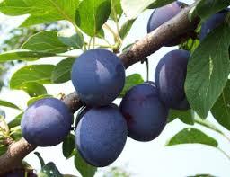 Michigan Plum Growers  Plum Variety DescriptionsPlum Fruit Tree Varieties