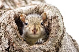 grey squirrel house plans best of what to do if you find a baby squirrel