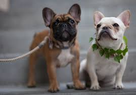 black and white french bulldog. Brilliant French French Bulldog Puppies Throughout Black And White French Bulldog G