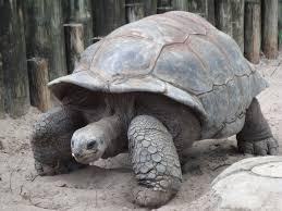 Indian Star Tortoise Diet Chart Tortoise Wikipedia