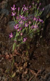 Schenkia spicata - Wikipedia