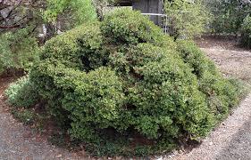 arctostaphylos uva ursi x emerald carpet emerald carpet manzanita
