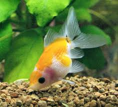 Fantail Goldfish Growth Chart Pearlscale Goldfish Pearlscale Fancy Goldfish Information