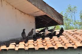 Resultado de imagem para pombos no telhado