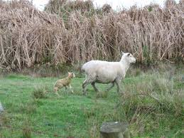 the suspected newborn lamb whose birth was seen by a perby who got things a bit
