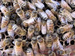 Varroa Mite Sampling And Monitoring Infestation Levels