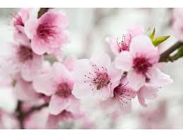 Alcune persone nascono con un talento naturale in questo mezzo. Carta Da Parati Decorativa Albero In Fiore A Primavera Con Fiori Rosa Fiore Di Amarena Fiori Carte Da Parati