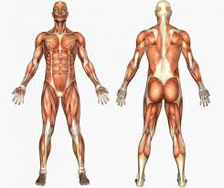 Resultado de imagem para fotos do corpo humano
