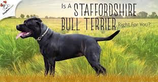 Staffy Puppy Weight Chart Staffordshire Bull Terrier 1 Guide Every Question Answered
